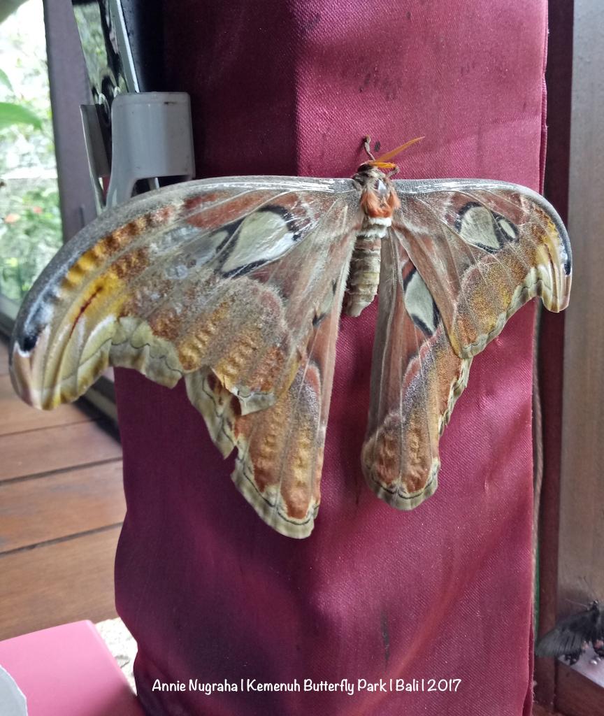 KEMENUH Butterfly Park - Bali | Melihat Ratusan Kupu-kupu Cantik di Sukawati - Gianyar